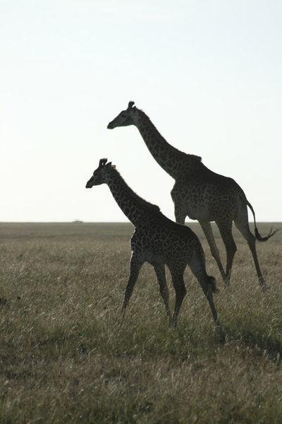 Girafes vers le couchant