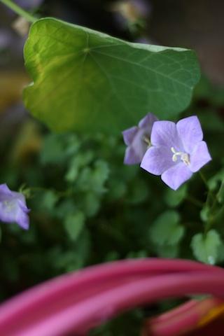 Ma petite violette