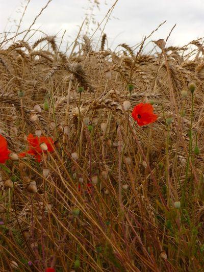 La couleur des champs de blés