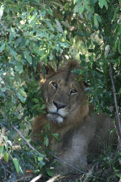 Gros lion planqué