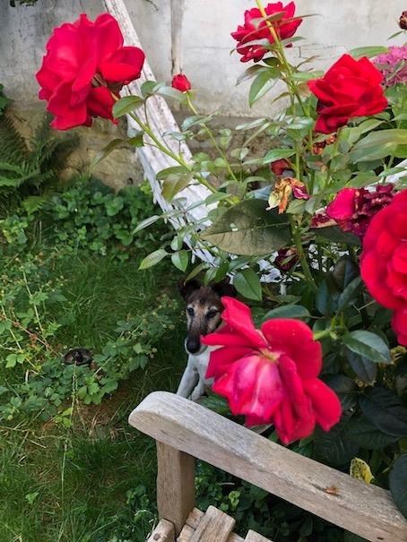 Hush dans les roses