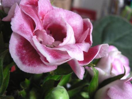 Gloxinia_flowers