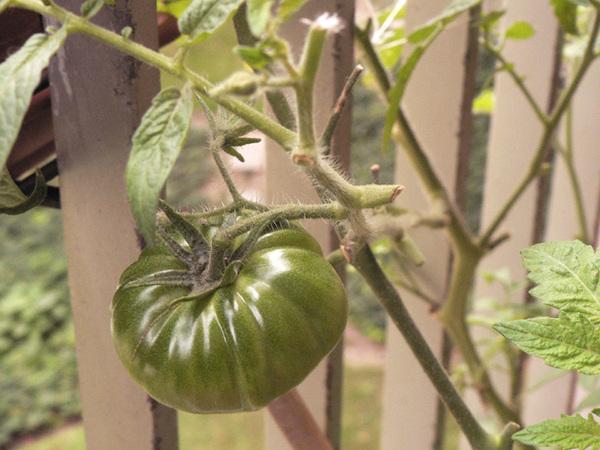 Espoir_de_tomate_2